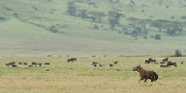 Spotted Hyena watching a herd of Wildebeests