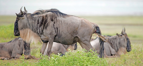 Wildebeest birth