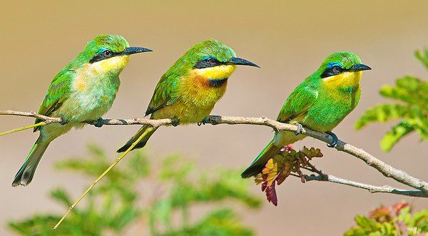Bee-Eaters waiting for action