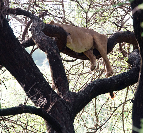 Lion sleeping in the tree after over-eating