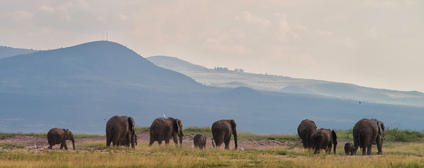 Elephants returning to the mountains in the afternoon