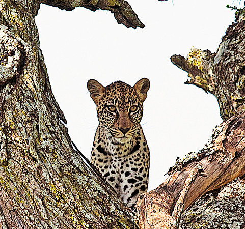Leopard watching you