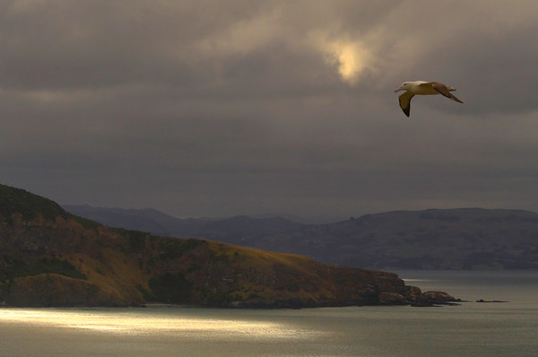 Albatross in Flight over Otago Peninsula