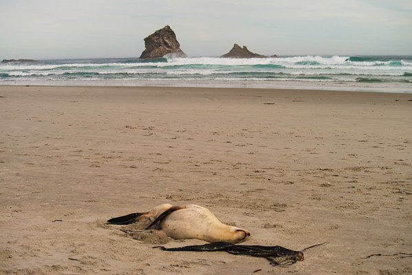 Lazy seal in Sandfly Bay