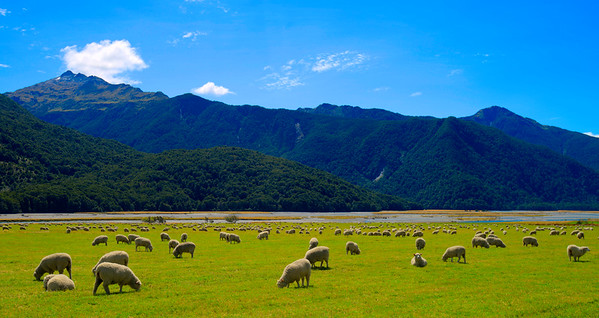 Some of the 30 million sheep in NZ
