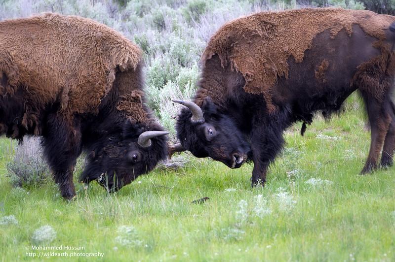 Bison's Showdown ~ Yellowstone National Park, Lamar Valley, WY.