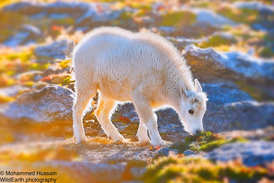 Baby Mountain Goat ~ Mount Evans Wilderness, CO
