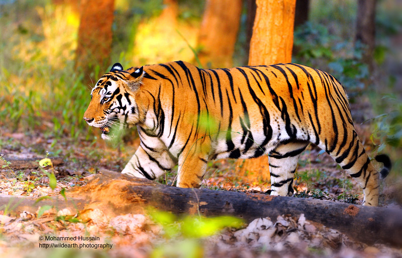 Born To Roam-King of the Jungle ~   Kanha National Park, India