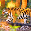Born To Roam-King of the Jungle ~   Kanha National Park, India