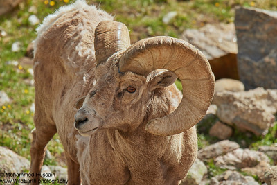 Bighorn Sheep-Trail Ridge Road, RMNP, CO