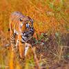 Devotion ~ Bandhavgarh National Park, India
