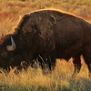American Bison, Rocky Mountain Arsenal National Wildlife Refuge, CO