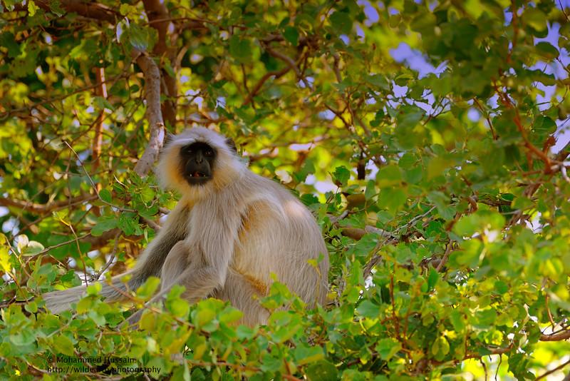 Gray Langur ~ Kanha National Park, India.