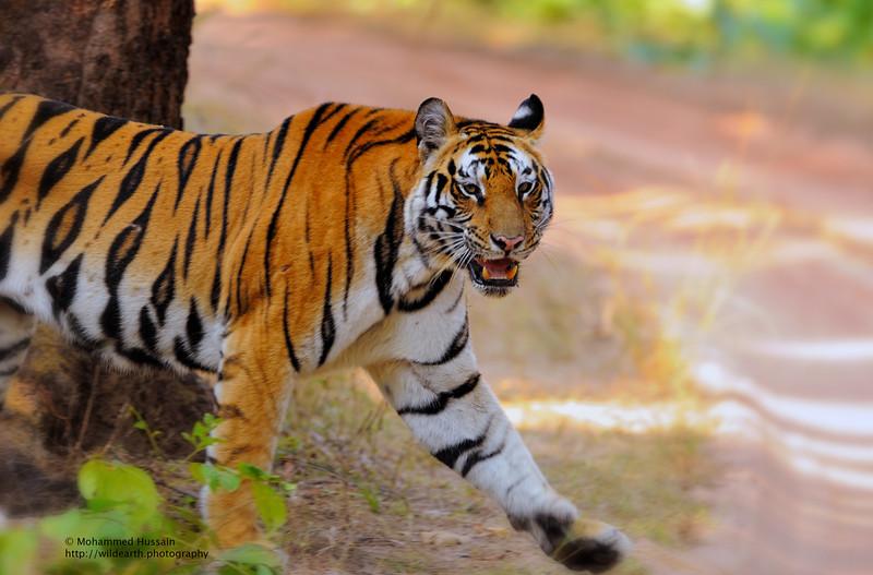 Tigress Tiptoe into Bandhavgarh Wilderness. ~ Bandhavgarh National Park, India.