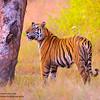 Defender ~ Kanha National Park, India