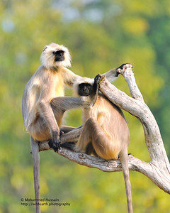 Langur Monkeys  ~ Bandhavgarh National Park, India