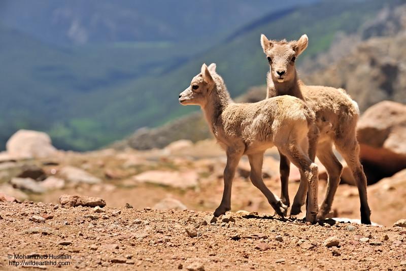 Bighorn Sheep Babies - Mount Evans Wilderness, Colorado.