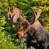Bull Moose - ~ Indian Peaks Wilderness, CO