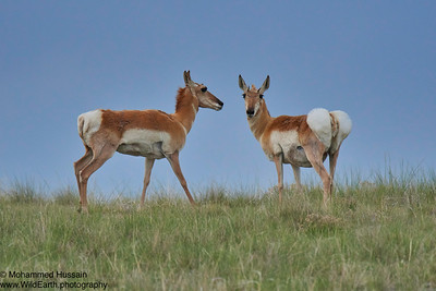 Pronghorns- Bennett, CO