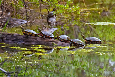 Painted Turtles - Walden Ponds Wildlife Habitat ,Boulder, Colorado