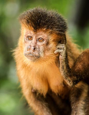 Monkey at Preguiças River, Maranhão - Brasil