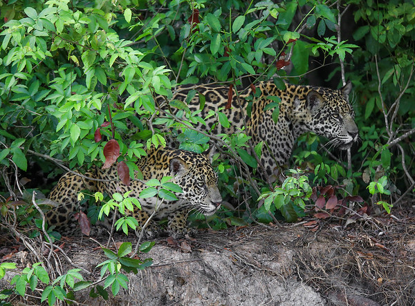 Brothers in Arms. Two jaguares brothers hunting near Cuiabá River, at Pantanal Norte, Mato Grosso - Brasil