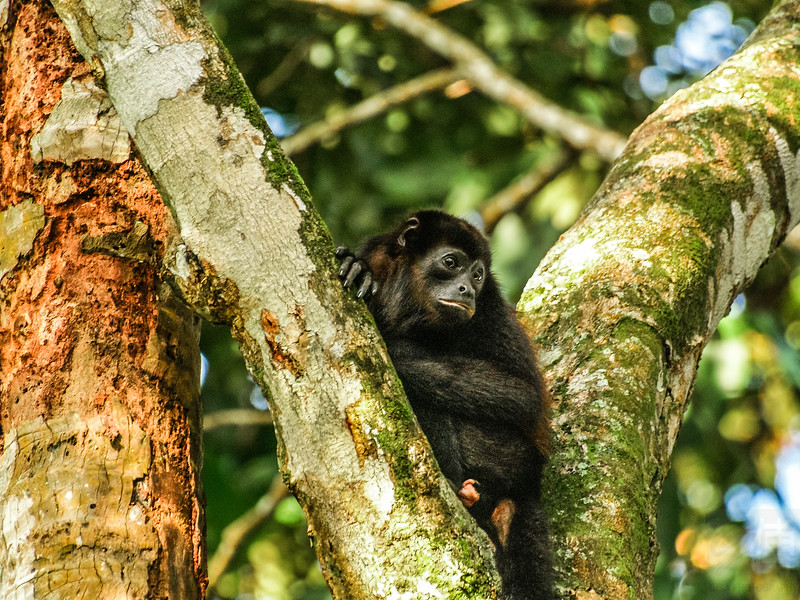 Mantled Howler in Manuel Antonio National Park - Costa Rica