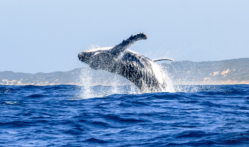 Humpback whale at Závora - Mozambique
