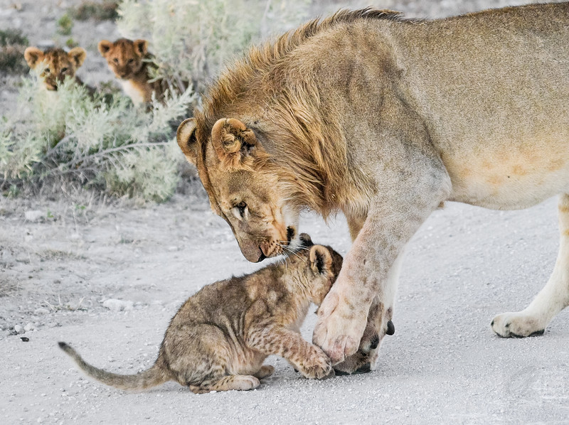 Male Lion and cub - Etosha National Park, Namibia