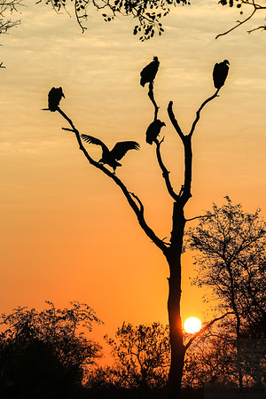 Tree of Vultures - Kruger National Park, South Africa