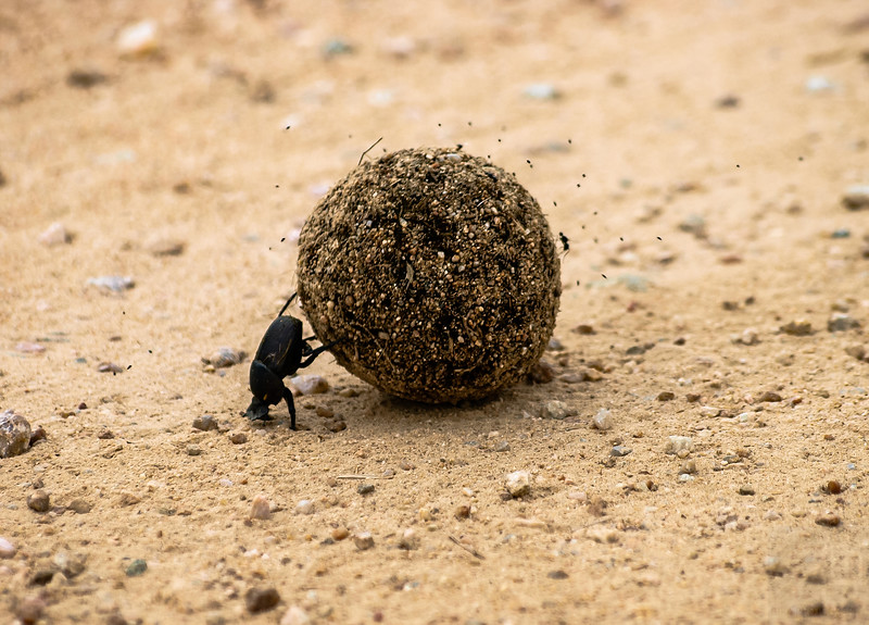Dung Beetle - Kruger National Park, South Africa