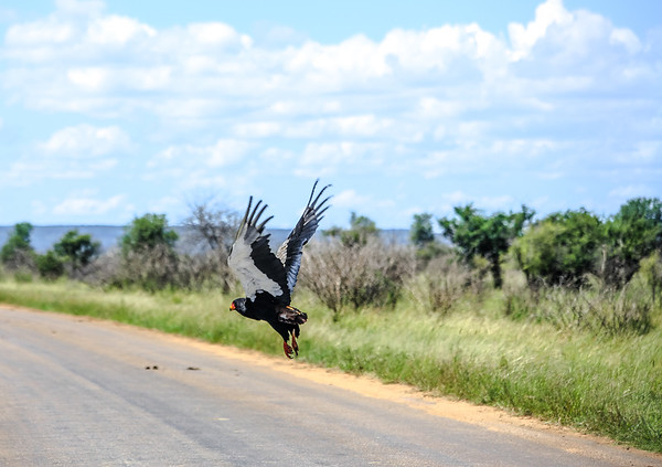 Eagle in Kruger National Park, South Africa