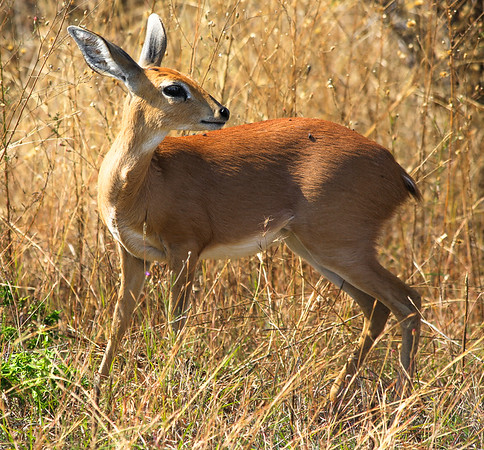 Steenbok in Kruger National Park, South Africa