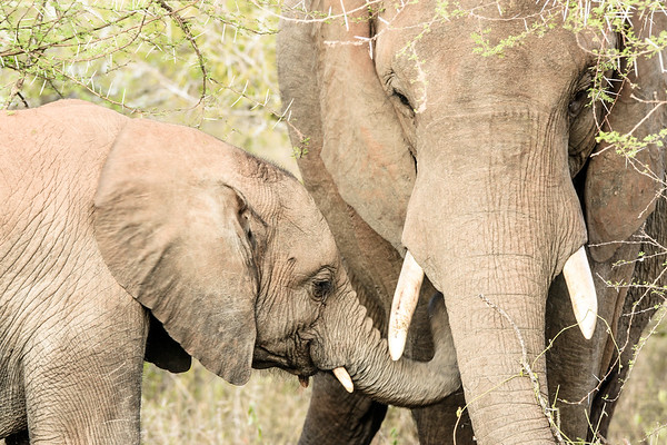 Elephants - Kruger National Park, South Africa