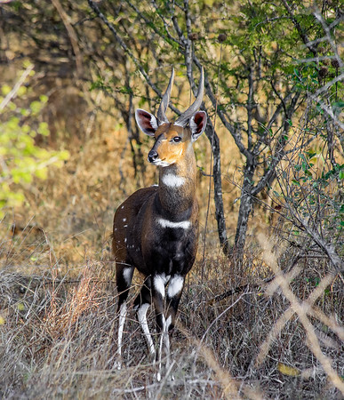 Bushbuck  in Kruger National Park, South Africa