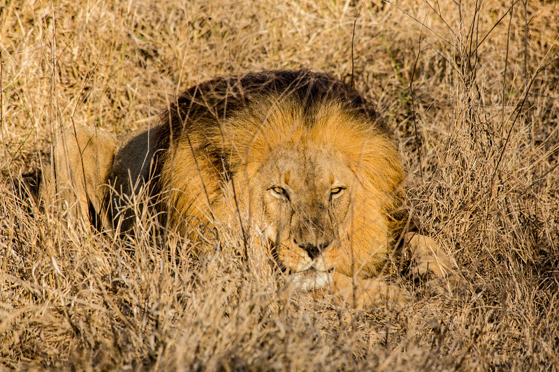 Lion in Hlane National Park - Swaziland