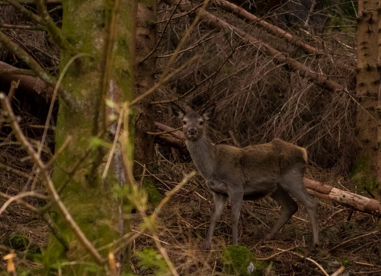 Hjorte kalv i mars /Red Deer calf in march
