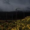 Daffodils/Påskeliljer