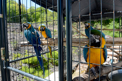 Tania Barricklo-Daily Freeman    Waslyn owns four adult Macaws, Merlin, Baby, Ara and Peace-nik.Merlin was the first parrot she aquiredto be a spokesavian for nature.The group of them are called Parrots for Peace.