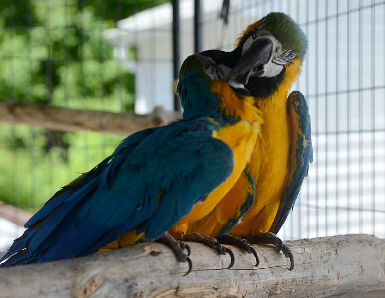 Tania Barricklo-Daily Freeman    Peace-nik, 8, preens his sister Ara,6, as they enjoy their outdoor cage. The two are the offspring of Merlin and Baby, the two other  Blue and Gold Macaws belonging to Waslyn.