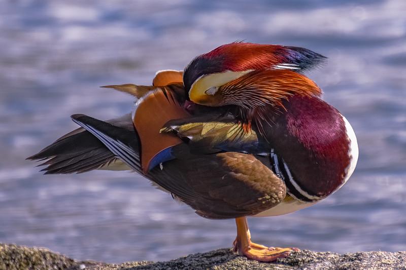 Mandarin Drake Yoga Pose 5