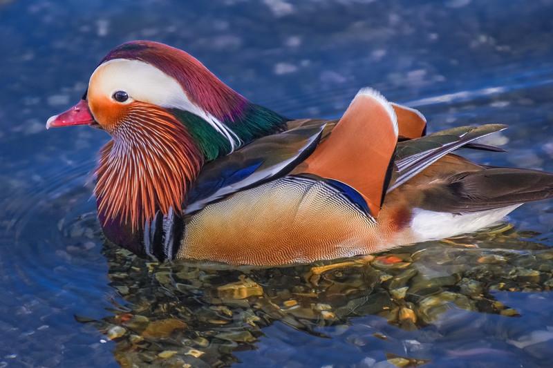 Exotic Mandarin Drake