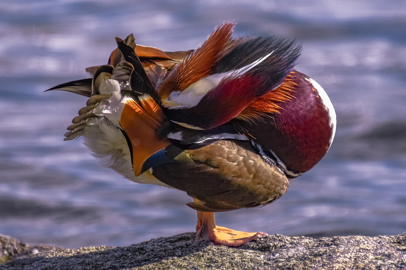 Mandarin Drake Yoga Pose 1
