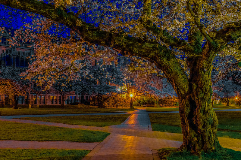 Cherry Blossoms at Dawn