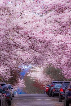Cherry Blossom Urban Oasis