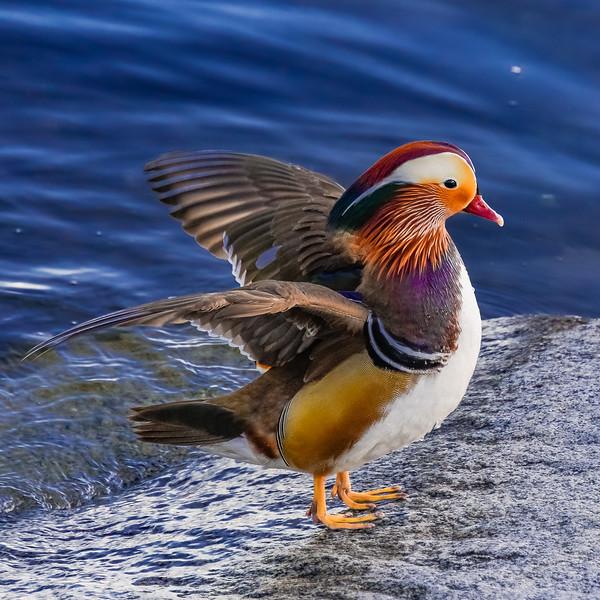 Majestic Mandarin Drake