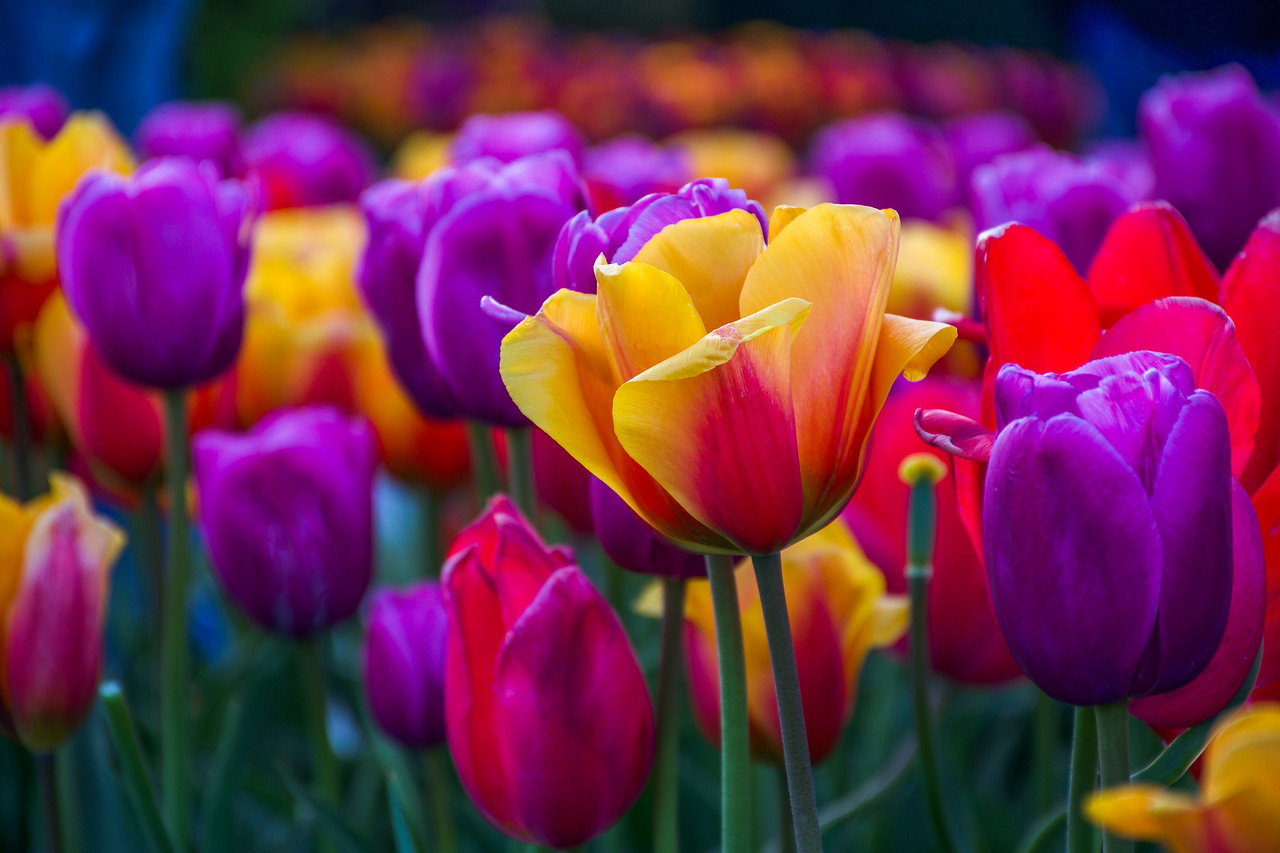 Tulip Celebration