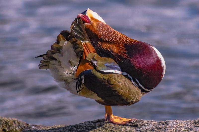 Mandarin Drake Yoga Pose 4