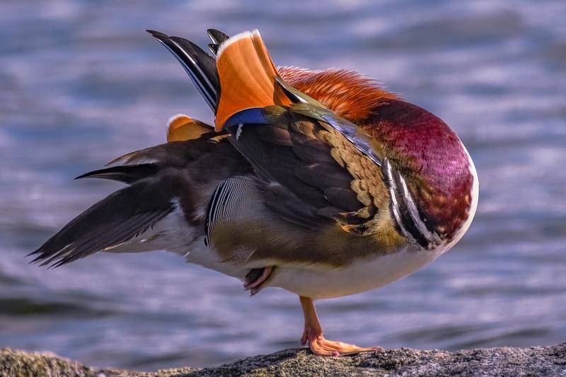 Mandarin Drake Yoga Pose 8