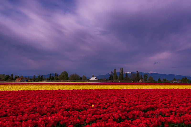 The Glory of The Skies and Tulips
